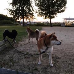わんこ同好会/柴犬/お散歩/暮らし 夕焼け雲とお犬たち。 誰も一度もこっちを…(5枚目)
