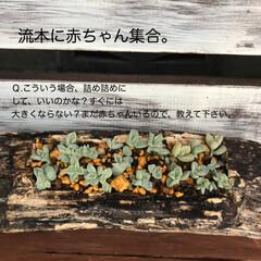多肉棚 朝からDIY🤗  下の花壇→地植え用にと…(2枚目)