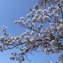 桜/柴犬/お散歩 朝の散歩で( ¨̮ )︎︎♡ (8枚目)