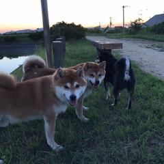 お散歩/わんこ同好会/柴犬 朝も散歩行くし、 夕方も散歩行くんだ🐕🐕…(7枚目)