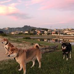 わんこ同好会/柴犬/お散歩/暮らし 夕焼け雲とお犬たち。 誰も一度もこっちを…