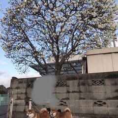 お散歩/柴犬/ワンコ同好会/暮らし 春のお花とお犬たち( ¨̮ ) 黒リード…