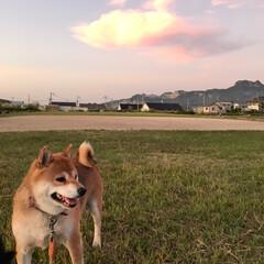 わんこ同好会/柴犬/お散歩/暮らし 夕焼け雲とお犬たち。 誰も一度もこっちを…(2枚目)