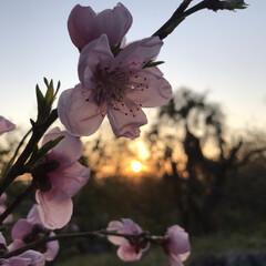 夕日とお花 今日の夕日と…