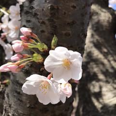 桜/柴犬/お散歩 朝の散歩で( ¨̮ )︎︎♡ (7枚目)