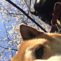 桜/柴犬/お散歩 朝の散歩で( ¨̮ )︎︎♡ (3枚目)