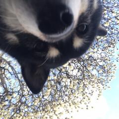 お散歩/柴犬/ワンコ同好会/暮らし 春のお花とお犬たち( ¨̮ ) 黒リード…(2枚目)