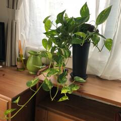 インテリア/如雨露/自然/ポトス/観葉植物/DIY/... 母にいただいた 大事なポトスくん 🌿 ぐ…