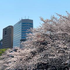 空/花見/桜 4月上旬の桜 来年はお花見できるといいな🌸