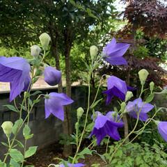 庭の桔梗 今朝ピンクの桔梗が咲きました💗  6時過…(8枚目)