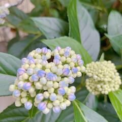 花のある暮らし/紫陽花 庭の紫陽花も色付きはじめました♪ 可愛い…(3枚目)