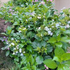 花のある暮らし/紫陽花 庭の紫陽花も色付きはじめました♪ 可愛い…(4枚目)