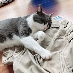 お昼寝/うちの猫🐈 スヤスヤ😪 パパのズボンですけどね笑笑 …