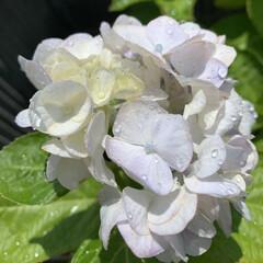 紫陽花 鉢植えでいただいてたのを地植えした紫陽花…