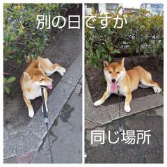 お気に入りの場所/しばいぬ大好き/柴犬/わんこ大好き/わんこ同好会/わんこ/... 愛犬もみじ♀の散歩の写真です。 先日と同…