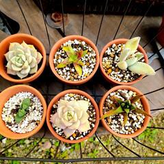 グリーンのある暮らし/庭の手入れ/庭のある暮らし/庭作り/多肉棚/多肉ちゃん/... 多肉さん達。 ダイソーで購入した小さな鉢…