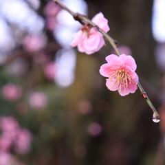 花/梅/ひな祭り/ピンク/植物/枝/... 近所の梅の花。綺麗に咲いてました。 ピン…