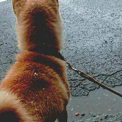 メス/1歳/柴犬 本日のヘアアレンジは、フォトがうまく撮れ…