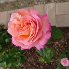 薔薇/ガーデニング 今日の我が家の庭に咲いていた花達
