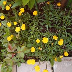 幸せ/黄色/ガーデニング/花 やはり黄色い花は可憐だ。幸せの黄色いハン…