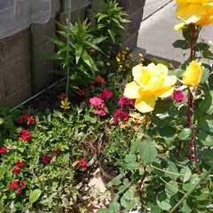 花/ガーデニング/薔薇/ゼラニューム/みかんの花 只今  花盛り! 温州みかんの花も咲きま…
