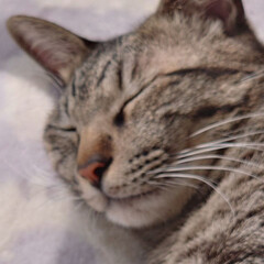 キジトラ/保護猫 寝てばっかりのにゃんこ。お日様ぽかぽかで…(1枚目)