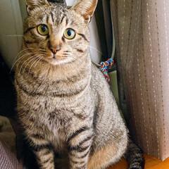 保護猫/猫 娘達から託された保護猫さぶ。まだ一歳にな…