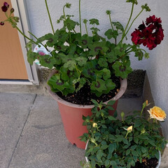 黄色/薔薇/ゼラニウム/ガーン/春/九州最大級/... 春はいろんな花が咲いて、ちょっとウキウキ…