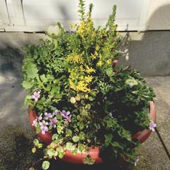 安い/ジョイフル本田/寄せ植え/花 バランスが難しい😆 ジョイフル本田に行っ…