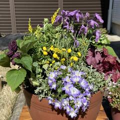 紫色/寄せ植え/春の花/住まい/暮らし おはようございます😃 週末は自粛モードな…
