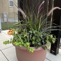 寄せ植え/雷雨/まだまだ暑い/ハロウィンの季節がやってくる/カラーリーフ/秋の寄せ植え こんばんは😊  今日も暑かったですね💦し…