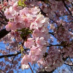 帰り道/もうすぐ春ですね/桜🌸 こんにちは🌸 家の近くの川沿いの早咲き桜…