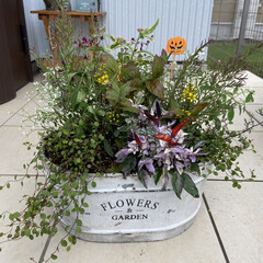 秋のカラーリーフ/秋色/秋の寄せ植え/ハロウィン/ガーデニング/花 今日は雨が降ったりやんだり、パッとしない…