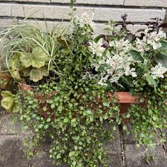 植え替え/ジョイフル本田/秋の寄せ植え/秋のコーデ/寄せ植え/ガーデニング/... 前に作った寄せ植えの生き残り(後の残りは…