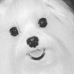 写真/愛犬/フルコート/マルチーズフルコート/写真好きと繋がりたい/犬写真/... oh…Berry cute❤️