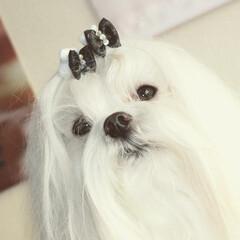 写真好きと繋がりたい/犬写真/愛犬/フルコート/マルチーズ/マルチーズフルコート My dog full coat M…