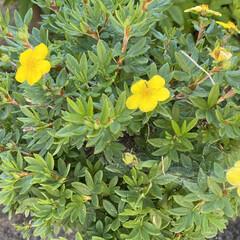 黄色/花/散歩/晴れ/天気 おはようございます。🎶  今日もいー天気…(4枚目)
