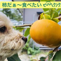 渋柿/柿/散歩/トイプードル/トイプー/華音/... こんにちは🎶 今日もお天気良いです🌞 で…(1枚目)