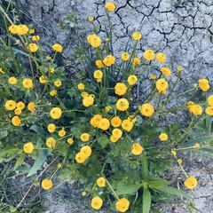 黄色/花/散歩/晴れ/天気 おはようございます。🎶  今日もいー天気…(3枚目)
