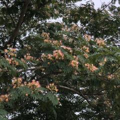 コスモス/ユリ/紫陽花/ねむの木/散歩 こんにちは🎶 朝から曇り、でもムシムシし…