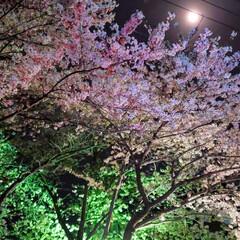 流れ星/桜/お弁当/ソーシャルディスタンス/おうちごはん こっちもソメイヨシノが ほぼ終わりました…
