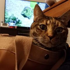 ここが好き 愛猫が通勤カバンを気に入ってよく入ってい…