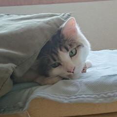 LIMIAペット同好会/にゃんこ同好会 枕を布団に寝ようか遊ぼうか、迷っている暖…(1枚目)