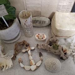 観葉植物/シェルbox/流木/珊瑚/海で拾った貝 海で拾った石のような貝のような物をマリン…