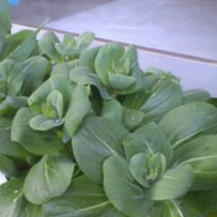 グリーンインテリア投稿コンテスト/家庭菜園/チンゲンサイ 家庭菜園 チンゲンサイ。