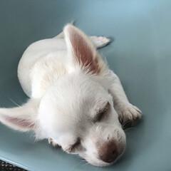 チワワ部 寝ている時も耳はピーン
