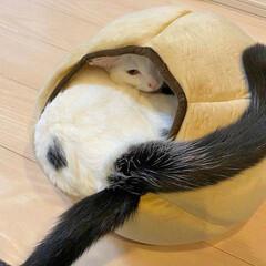 猫/ネコ/シッポ/ペット用ベッド 猫のシッポが2本になってる∑(゚Д゚)(1枚目)