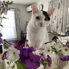 ペチュニア/猫屋敷/保護ネコ/完全室内飼育 ハナとオレ どう?イケてる?