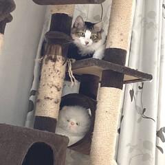 猫タワー/猫屋敷/完全室内飼育/保護猫/猫 キライな子をロックオンする男 飛びかかる…