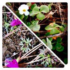 雑草/草むらの中の花/寒さにも負けない花/植物/花/癒し 枯れた草むらの中から 小さな可愛いらしい…(1枚目)